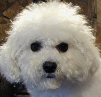 Bichon Frise in Oregon