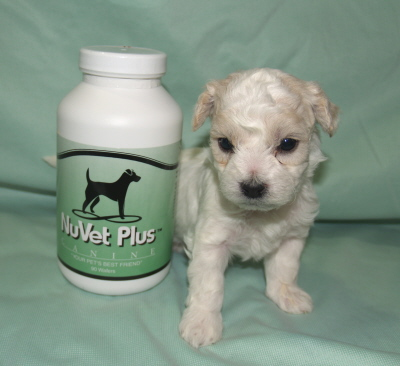 We Recommend Nuvet for Bichon Frise