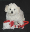 oregon bichon frise puppy