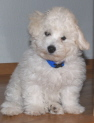 Bichon Frise puppies in oregon